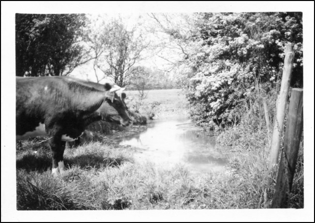 Cows coming down to drink at the river Mel in the past. Photo from Meldreth Local History Group archives
